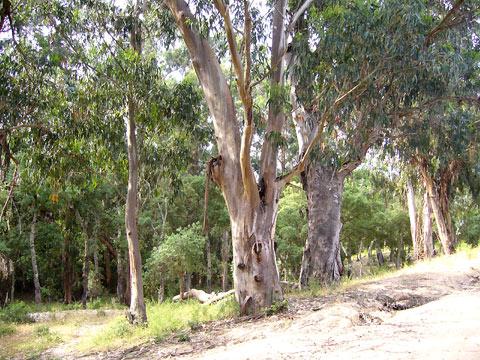 eukalyptusb ume chiavari rundwanderung fotos ausfl ge bilder. Black Bedroom Furniture Sets. Home Design Ideas
